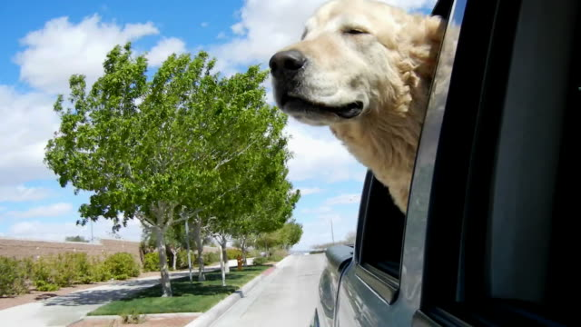 HD: Dog in Car Looking Out video