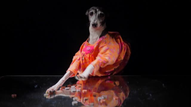 dog in dress counts her change and money on table - conto corrente video stock e b–roll