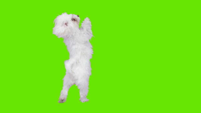 dog in front of green screen - chroma key bildbanksvideor och videomaterial från bakom kulisserna