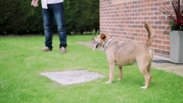 Dog in the Garden Terrier dog is standing in a garden watching his owners. panting stock videos & royalty-free footage