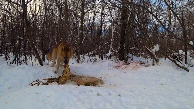 dog in the winter forest eats carrion and runs away when scared - сбежавший из дома стоковые видео и кадры b-roll
