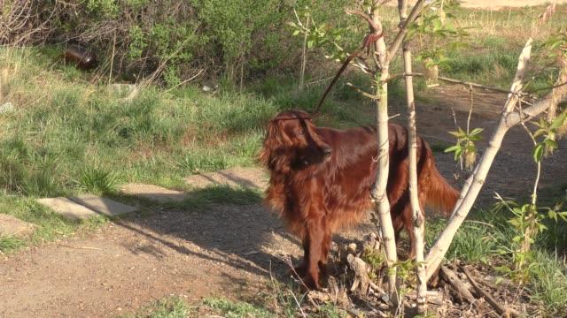 Dog Irish Red setter Irish setter dog on a walk in spring morning irish setter stock videos & royalty-free footage