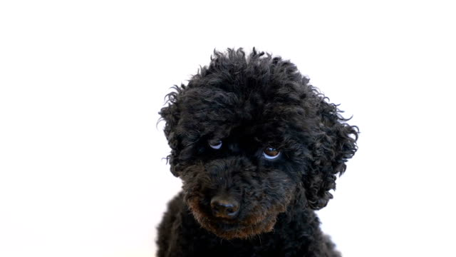 Video Dog (Poodle) is curling his eyes