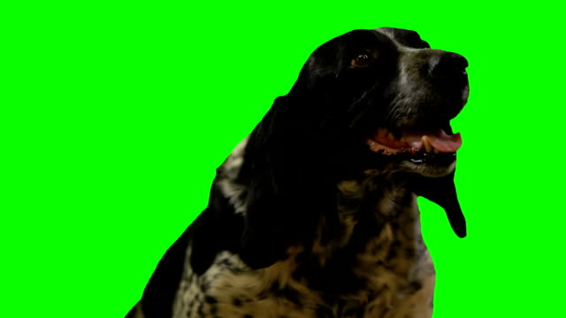 dog is look aead on a green screen dog il look aead on a green screen setter dog stock videos & royalty-free footage