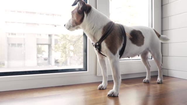 dog is standing on the window waiting for owner - imbracatura video stock e b–roll
