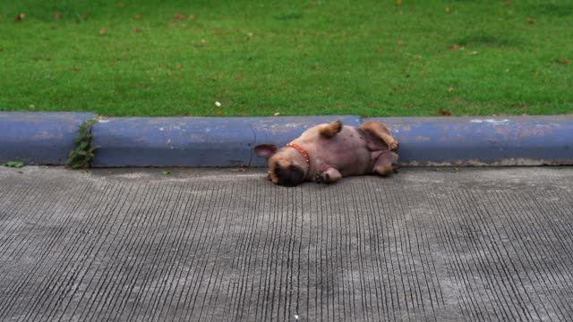 Dog itchy French bulldog is itchy on the road. flea insect stock videos & royalty-free footage