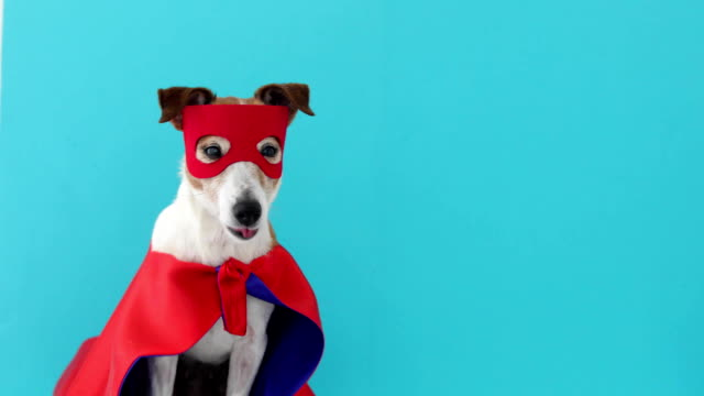 Dog jack russell super hero costume Dog super hero costume. little jack russell wearing a red mask for carnival party isolated blue background mask disguise stock videos & royalty-free footage
