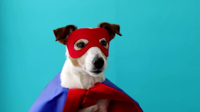 hund jack russell super hjälte kostym - superhjälte isolated bildbanksvideor och videomaterial från bakom kulisserna