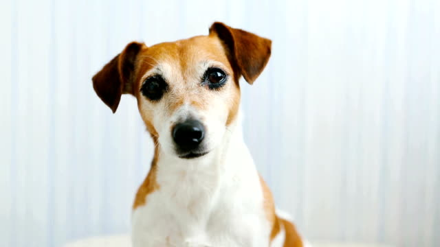 Dog Jack Russell terrier head portrait video footage Adorable cute small dog face looking to you jack russell terrier stock videos & royalty-free footage