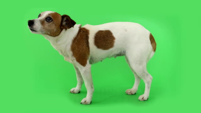 Dog Jack Russell Terrier is afraid of standing and trembling Portrait nice dog is afraid and trembling. Jack Russell Terrier standing on green background shivering stock videos & royalty-free footage