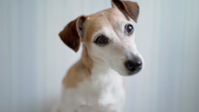 A dog Jack Russell terrier looking to the camera shaking head curious eyes - video