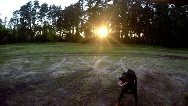 Dog jumping for ball at sunset video