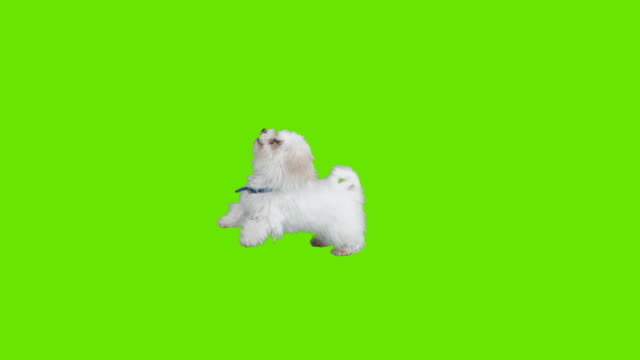Dog Jumps With Joy Green screen of a puppy jumping with joy. Shot with red camera. Ready to be keyed. puppy stock videos & royalty-free footage
