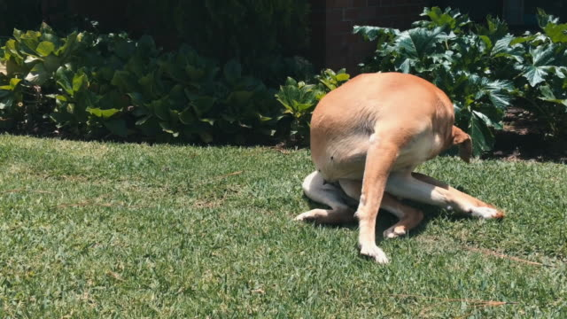 Dog laying down in grass, gets up and stands sideways to camera video