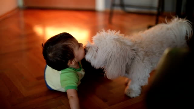 dog licking little boy - leccare video stock e b–roll