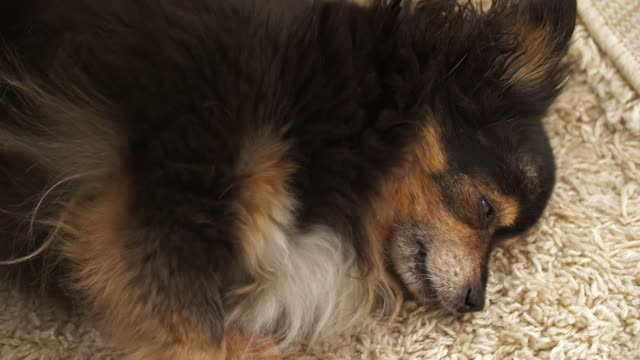 hunden ligger och hosta - hunddjur bildbanksvideor och videomaterial från bakom kulisserna