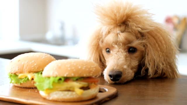 dog looking at hamburgers. - cheeseburger стоковые видео и кадры b-roll