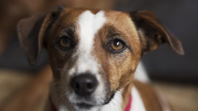 Dog looking into camera Dog staring lovingly into camera, big eyes jack russell terrier stock videos & royalty-free footage