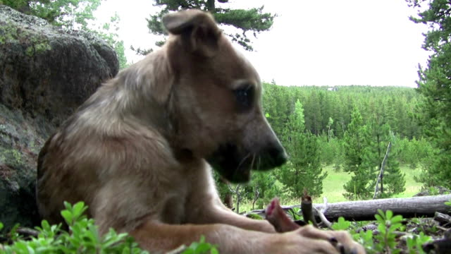 Dog Looking Into Distance Then Eating Bone video