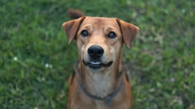 vídeos de stock, filmes e b-roll de um cão que olha acima na câmera. - cão