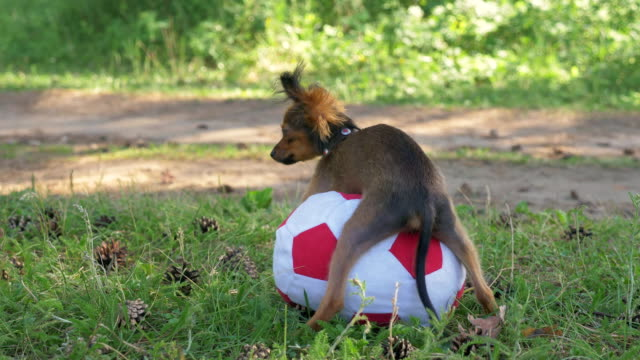 Dog makes humping funny sex with a toy. Dog makes funny sex with a toy. A toy is a soccer ball. Legs hang hilariously. Humping dog. Humpy toy terrier. videos of dogs mating stock videos & royalty-free footage