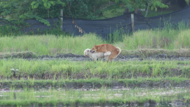 dog mating in the paddy field - vídeo