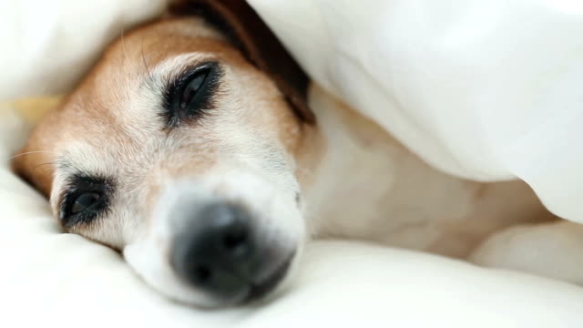 Dog Muzzle snorts and sleeps on a white cozy home bed. video