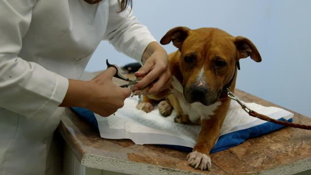 Dog Nail Trimming at Pet Clinic video