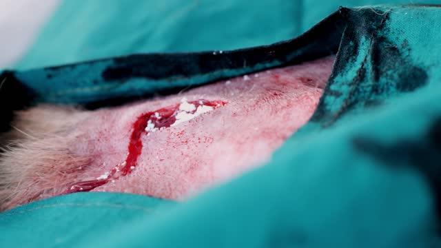 hayvan hastanesinde veteriner tarafından köpek kısırlaştırma işlemi. - sütür eklem stok videoları ve detay görüntü çekimi