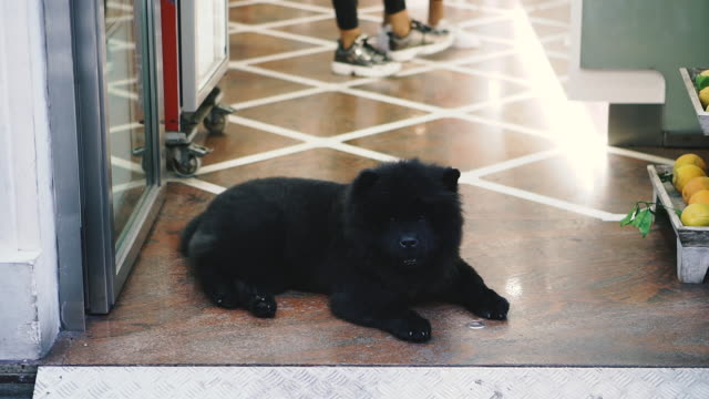 A dog of the Chow Chow breed lies on the floor.