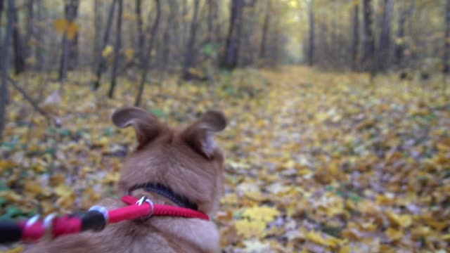 dog on a leash is walking in the autumn forest The dog on a leash is in the autumn forest. Taken from the head of a dog. leash stock videos & royalty-free footage