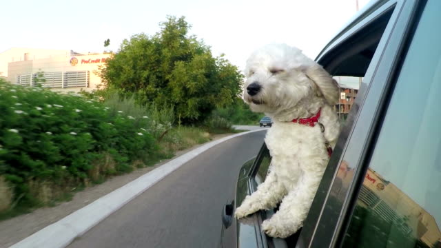 Dog on a road trip video