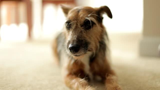 cane sul tappeto - cane addestrato video stock e b–roll