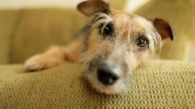 Dog on sofa awake video