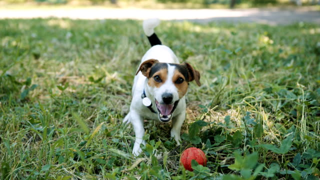 Dog on the grass barks and calls to play with the ball. Small breed dog Jack Russell Terrier sits on the grass and barks. Calls to play with the ball. Sunny summer day. jack russell terrier stock videos & royalty-free footage