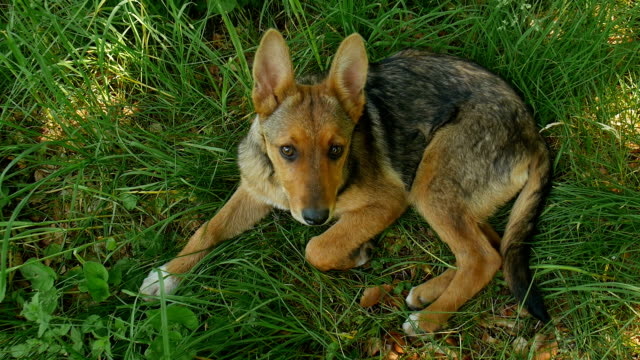Hund auf dem Rasen. – Video