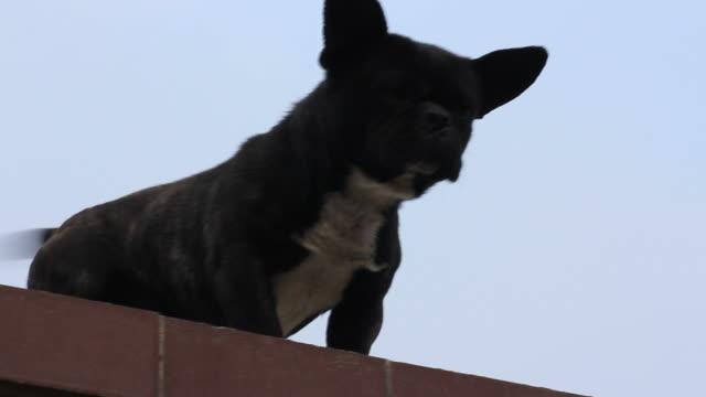 cane su un tetto di edificio - cane addestrato video stock e b–roll