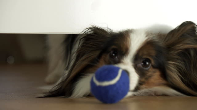 Dog Papillon looks under the bed and tries to reach the ball in living room stock footage video Dog Papillon looks under the bed and tries to reach the ball in the living room stock footage video purebred dog stock videos & royalty-free footage