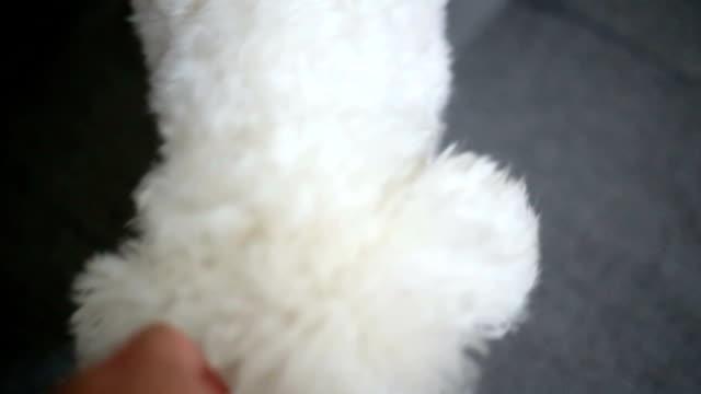 犬もゲームにロープトーイ女性の手 - ビションフリーゼ点の映像素材/bロール