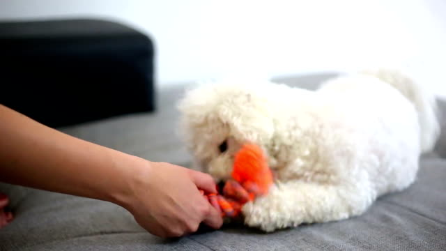 dog play game with rope toy in woman hand - bichon frisé video stock e b–roll