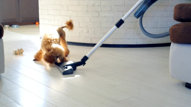 Dog playing with a brush of a working vacuum cleaner. video