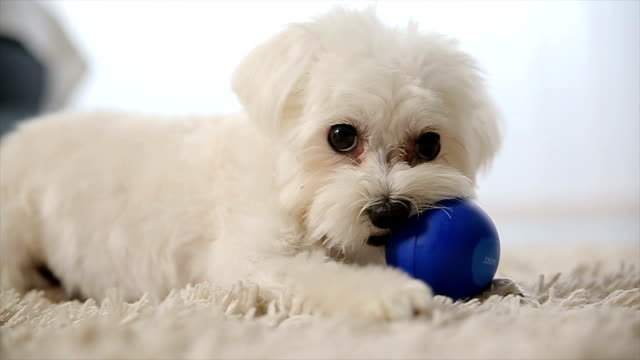 dog playing with ball video