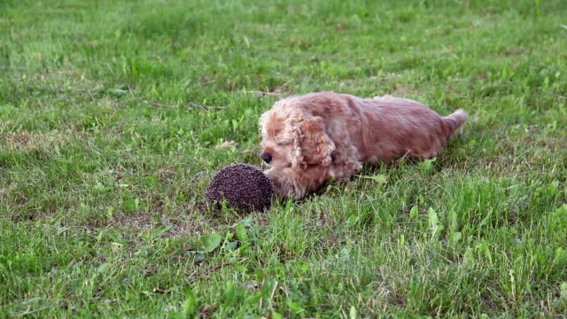 Dog playing with curled up hedgehog video