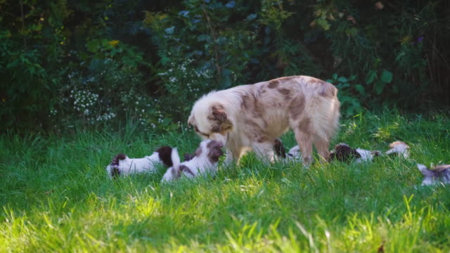 Dog playing with little puppies on green lawn video