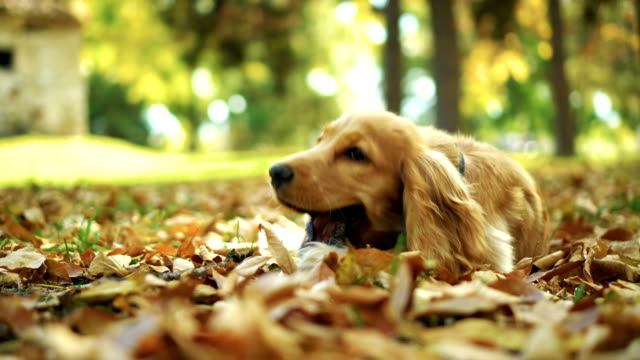 Dog playing with stick in autumn leaves Cute dog lying in yellow leaves and chewing a stick. stick plant part stock videos & royalty-free footage