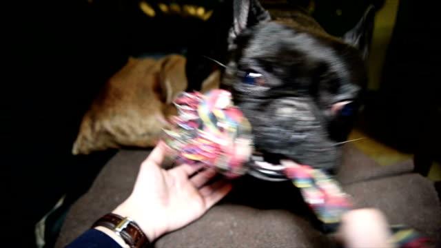 vídeos de stock e filmes b-roll de cão a brincar com o brinquedo. perspetiva pessoal - puxar cabelos