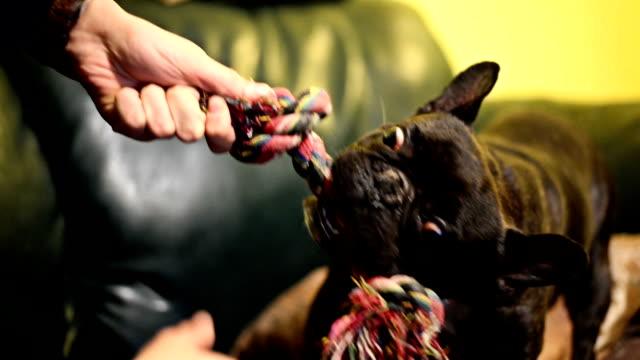 vídeos de stock e filmes b-roll de cão a brincar com o brinquedo. - puxar cabelos