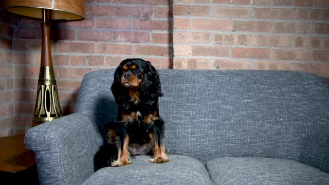 hund posiert auf sofa in vintage-haus - geduld stock-videos und b-roll-filmmaterial