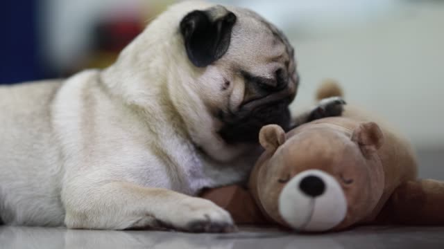 Dog pug breed licking doll lying with doll feeling so happiness and comfortable,Dog lifestyle Concept