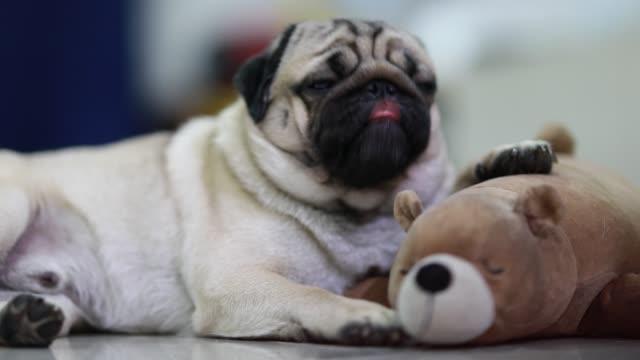cane pug razza leccare naso sdraiato con bambola sensazione così felicità e confortevole, dog lifestyle concept - leccare video stock e b–roll